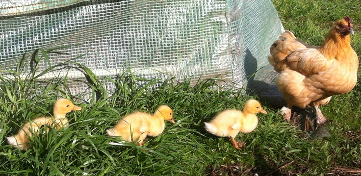 Pekin ducklings at White Stone Farm