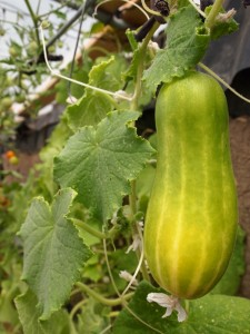 Greenhouse cucumber