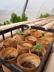 Toilet roll seedlings