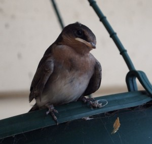 Welcome Swallow nestling