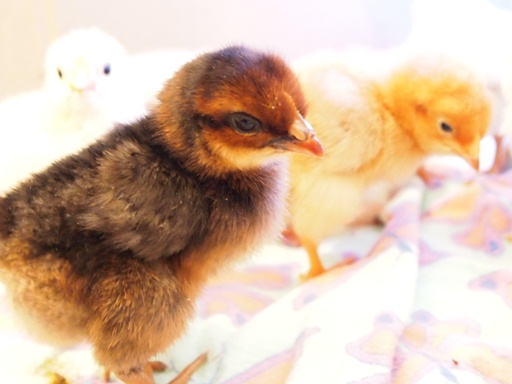Newly hatched chicken at White Stone Farm