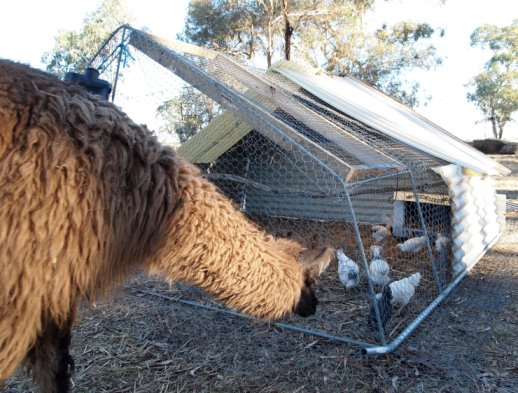 Llama and chook house