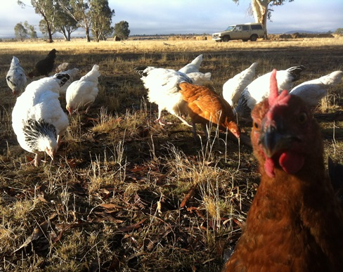 chicken photo bomb group