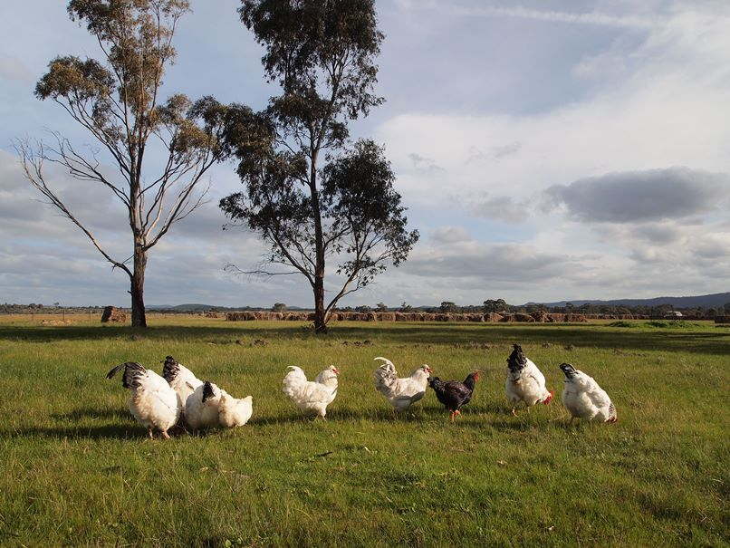 Chickens grazing at White Stone Farm