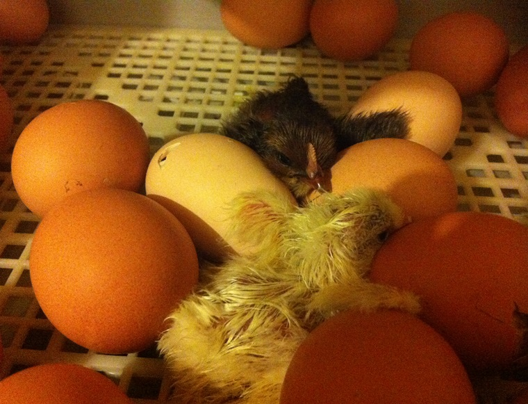 chicks hatched