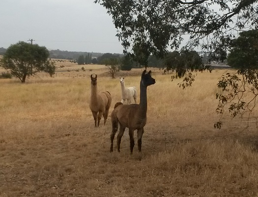 Llamas to be rescued